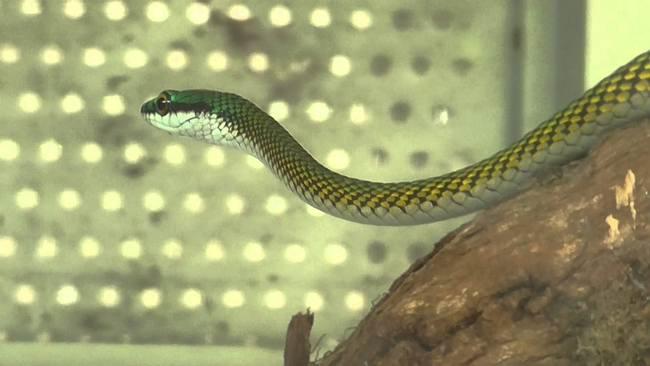 Serpiente bejuquilla