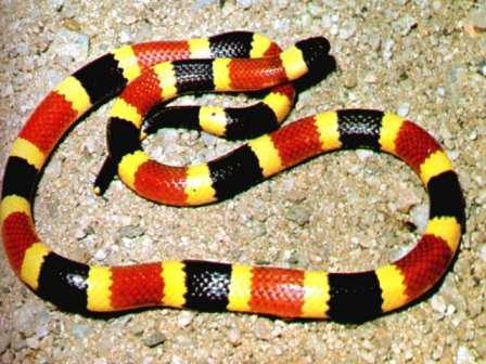 serpiente coral venenosa
