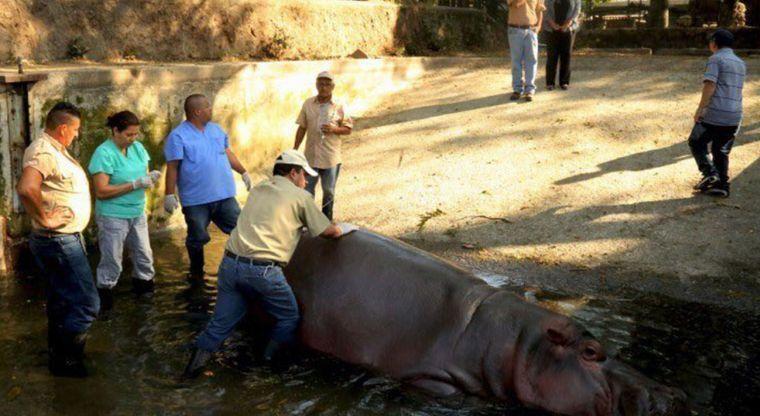 imagen Gustavito el hipopotamo de el salvador