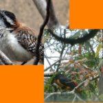 Thumbnail Aves más populares en El Salvador