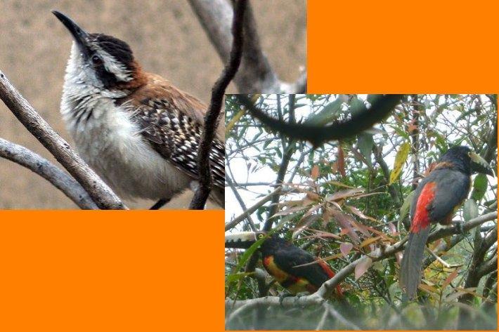aves populares en el salvador