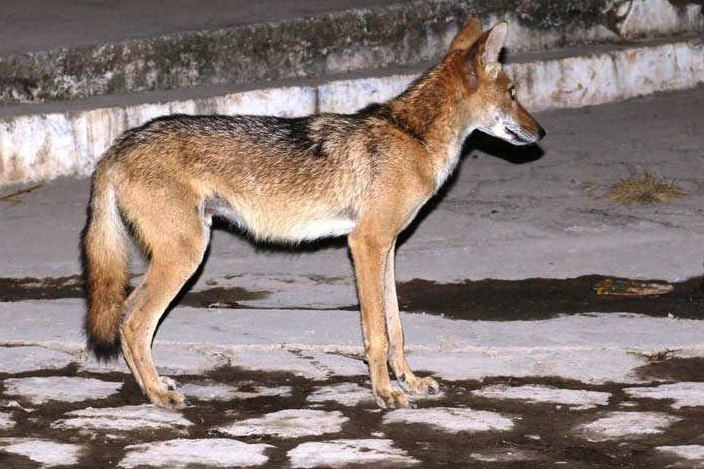 imagen de animal coyote en el salvador