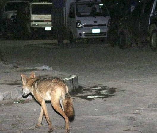 un coyote recorriendo calles en el salvador