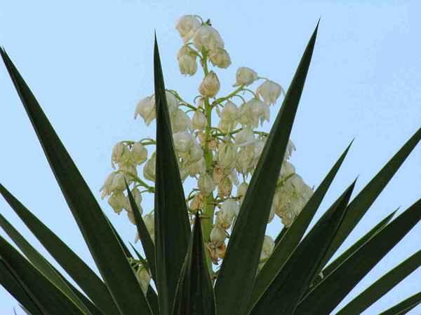 Thumbnail Flor de Izote: La Flor Nacional de El Salvador